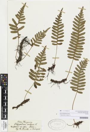 <em>Polypodium vulgare</em>, AK113661, © Auckland Museum CC BY
