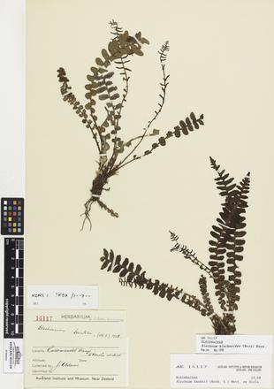 <em>Blechnum blechnoides</em>, AK14117, © Auckland Museum CC BY
