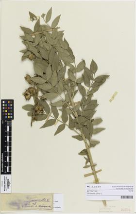 <em>Dictamnus albus</em>, AK32850, © Auckland Museum CC BY
