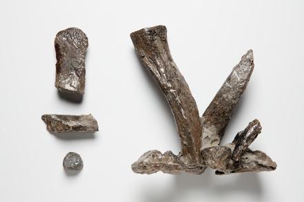 <em>Hydrotherosaurus alexandrae</em>, LH1534, © Auckland Museum CC BY