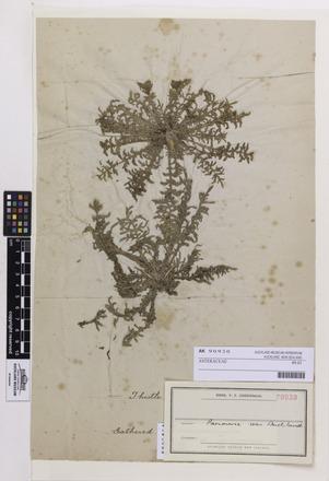 ASTERACEAE/Plantae/Linnaean, AK90930, © Auckland Museum CC BY
