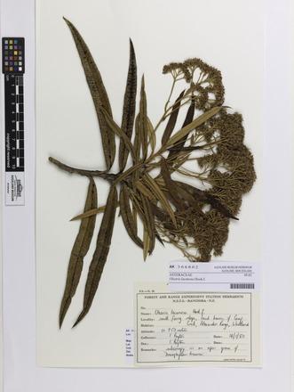 <em>Olearia lacunosa</em>, AK366802, N/A