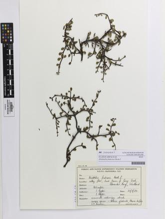 <em>Aristotelia fruticosa</em>, AK366807, N/A