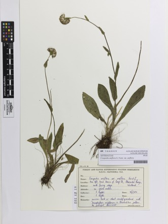 <em>Craspedia uniflora</em> uniflora, AK366809, N/A
