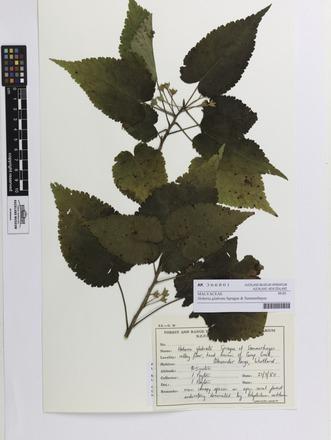 <em>Hoheria glabrata</em>, AK366801, N/A