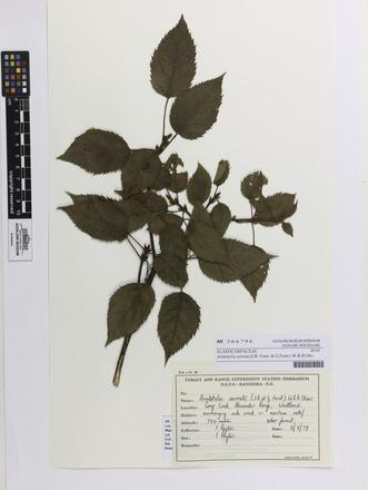 <em>Aristotelia serrata</em>, AK366796, N/A