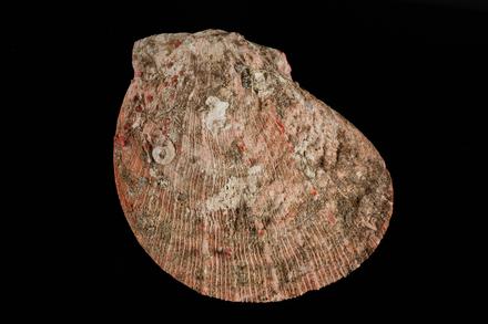 <em>Spondylus raoulensis</em>, MA121891, © Auckland Museum CC BY
