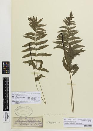 <em>Thelypteris palustris</em>, AK113076, © Auckland Museum CC BY