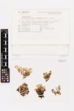 <em>Pseudocyphellaria carpoloma</em>, AK182477, © Auckland Museum CC BY