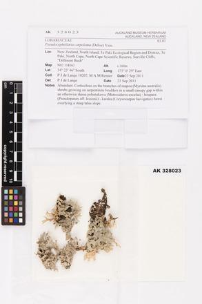 <em>Pseudocyphellaria carpoloma</em>, AK328023, © Auckland Museum CC BY