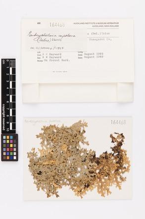 <em>Pseudocyphellaria carpoloma</em>, AK164468, © Auckland Museum CC BY