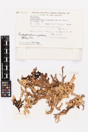 <em>Pseudocyphellaria carpoloma</em>, AK175453, © Auckland Museum CC BY