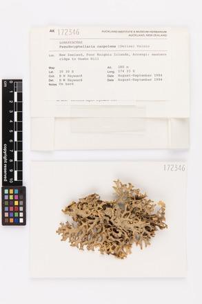 <em>Pseudocyphellaria carpoloma</em>, AK172346, © Auckland Museum CC BY