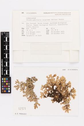 <em>Pseudocyphellaria carpoloma</em>, AK233004, © Auckland Museum CC BY