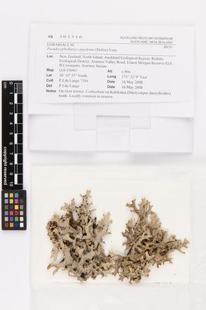 <em>Pseudocyphellaria carpoloma</em>, AK302316, © Auckland Museum CC BY