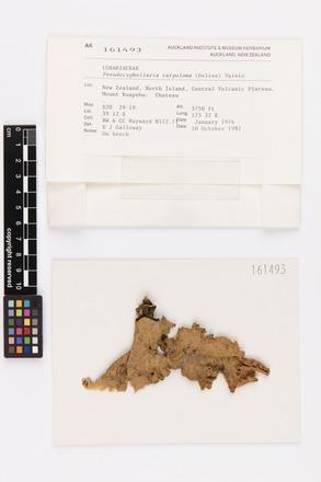 <em>Pseudocyphellaria carpoloma</em>, AK161493, © Auckland Museum CC BY