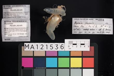 <em>Physalia physalis</em>, MA121536, © Auckland Museum CC BY