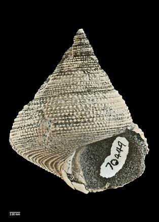 Maurea (Mucrinops) granti, MA70449, © Auckland Museum, CC BY