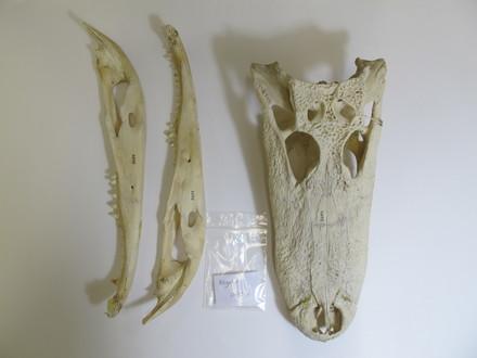 ALLIGATORIDAE/Crocodylia/Reptilia/Vertebrata/Chordata