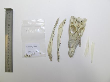 Crocodylia/Reptilia/Vertebrata/Chordata