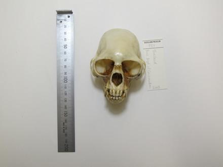 CERCOPITHECIDAE/Primates/Mammalia/Vertebrata/Chordata