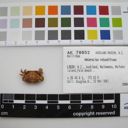 MA78852, Heterozius rotundifrons