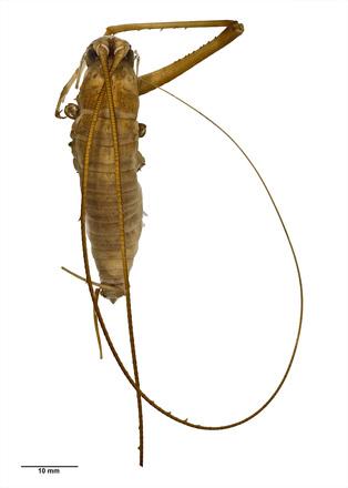 Pachyrhamma giganteum