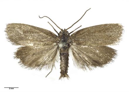 AMNZ21762 Gelophaula aridella