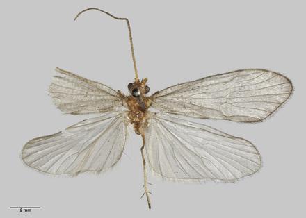 Pseudoeconesus tristirpis