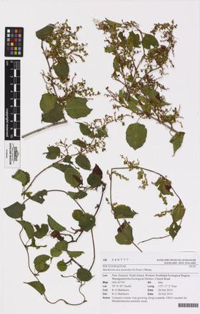 Muehlenbeckia australis, AK349777, © Auckland Museum CC BY