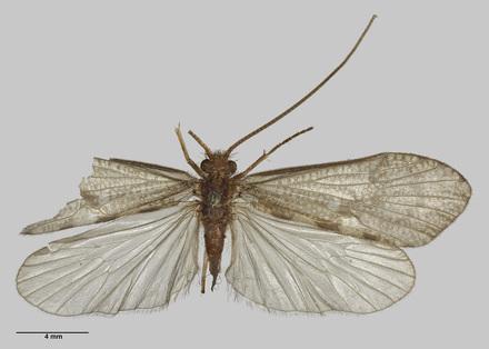 Oeconesus lobatus