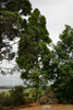 Kauri tree planted in memory of Harold Harding in the family burial plot in Dargaville (photograph S Park NZHPT 2010) - No known copyright restrictions