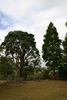 Two trees planted as a memorial, the kauri tree planted in memory of Harold Harding and a pohutukawa planted in memory of Richard Massey Harding in the family burial plot in Dargaville (photograph S Park NZHPT 2010) - No known copyright restrictions