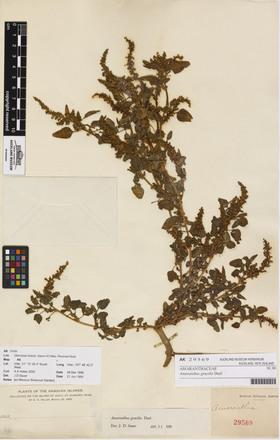 Amaranthus gracilis, AK29569, © Auckland Museum CC BY