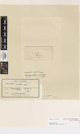 Myosotis uniflora, AK7419, © Auckland Museum CC BY