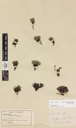 Myosotis pulvinaris, AK7422, © Auckland Museum CC BY