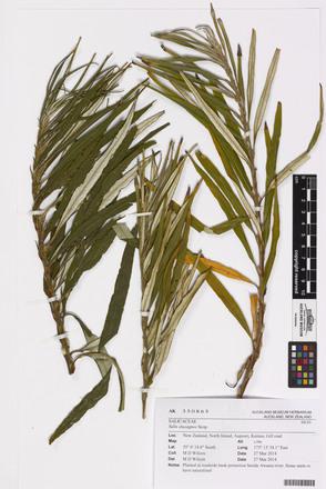 Salix elaeagnos, AK350865, © Auckland Museum CC BY