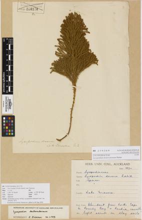 Lycopodium deuterodensum, AK259269, © Auckland Museum CC BY