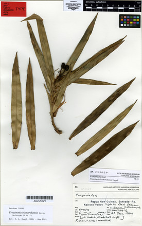 Freycinetia bismarckensis