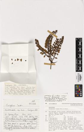 Cordyline rubra, AK233802, © Auckland Museum CC BY
