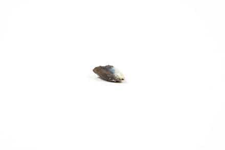 2013.36.61; burnt tooth; Hahei T11/326