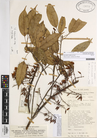 Elaeocarpus culminicola, AK134456, © Auckland Museum CC BY