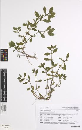 Alternanthera sessilis, AK355511, © Auckland Museum CC BY
