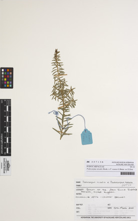 Podocarpus nivalis P. totara, AK357138, N/A