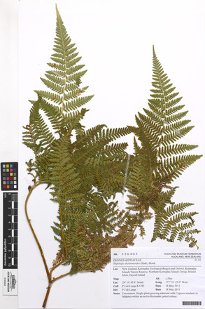 Hypolepis dicksonioides, AK356403, N/A