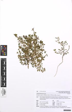 Chenopodium trigonon trigonon, AK356404, N/A