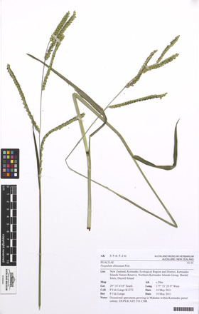 Paspalum dilatatum, AK356526, N/A
