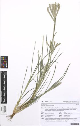 Eleusine indica, AK356531, N/A