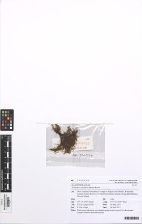 Cladophora prolifera, AK356536, N/A