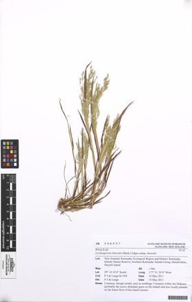 Lachnagrostis littoralis littoralis, AK356557, N/A